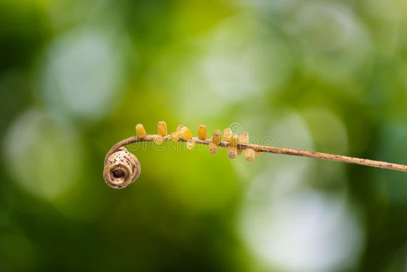 豹子草蜻蛉Cethosia cyane euanthes蝴蝶` s怂恿 库存照片