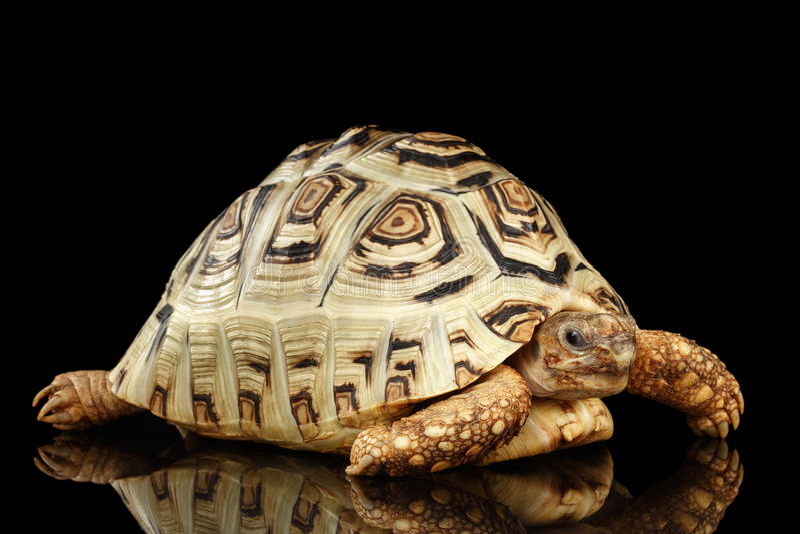 豹子草龟白变种,与白色壳的Stigmochelys pardalis隔绝了黑背景 免版税库存照片