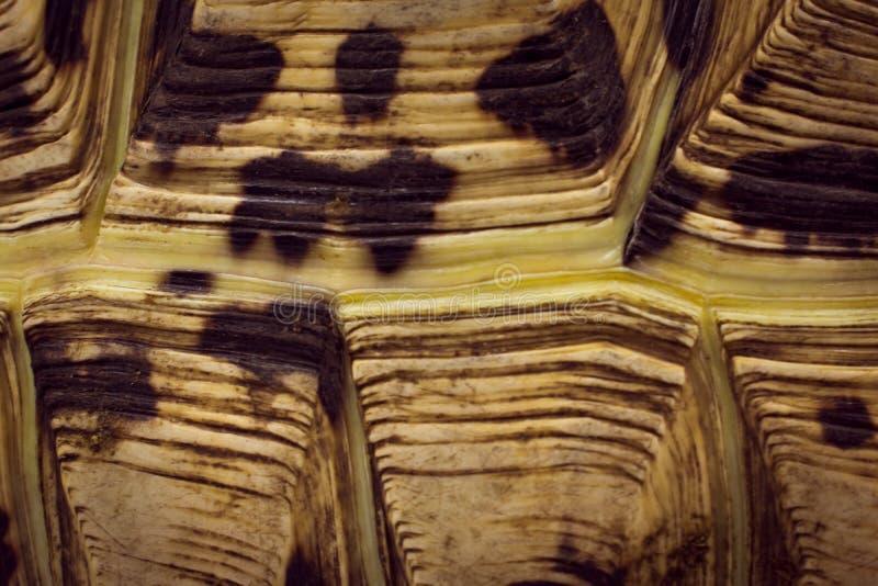 豹子草龟Stigmochelys pardalis壳关闭 库存图片