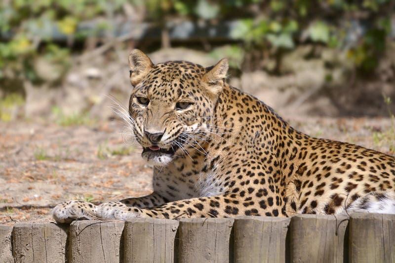豹子说谎 图库摄影