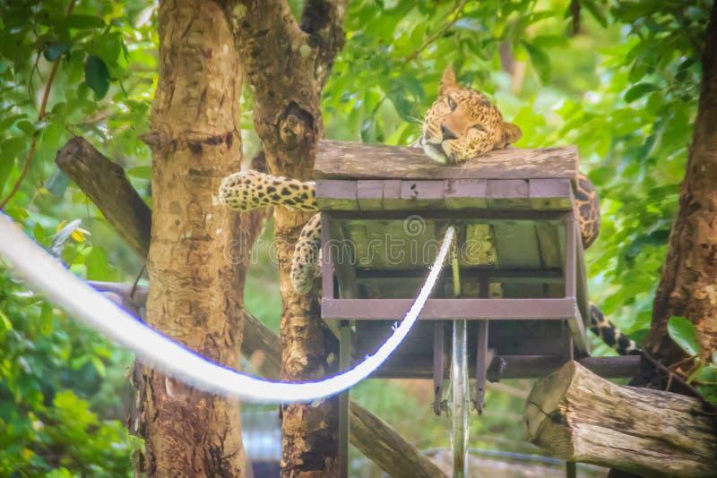 豹子(豹属pardus)松弛在绞刑台埋伏打开 免版税库存照片
