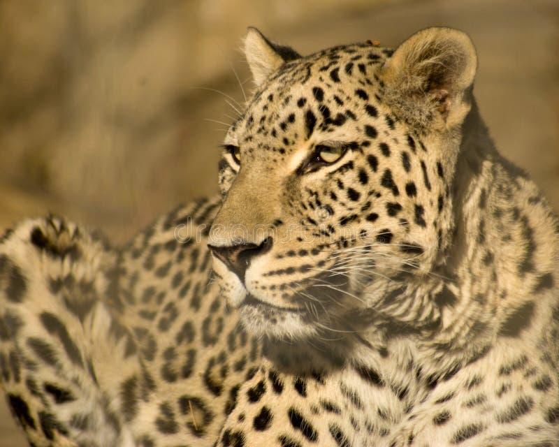 Download 豹子 库存照片. 图片 包括有 豹子, 封入物, 注视, 早晨, 闹事, 破擦声, 地点, 动物园, 晒裂 - 1564658