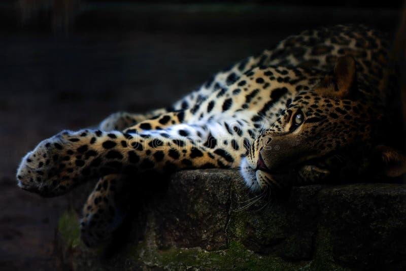 豹子 库存图片