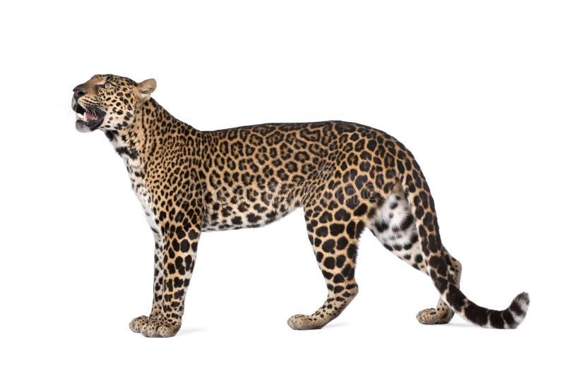 豹子panthera pardus纵向身分 免版税库存图片