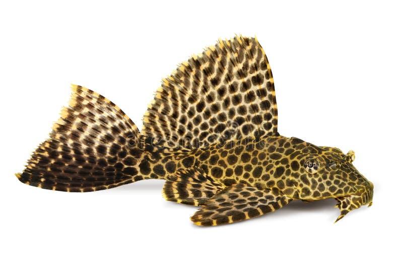 豹子Sailfin Pleco水族馆鱼Pterygoplichthys gibbiceps 免版税库存照片