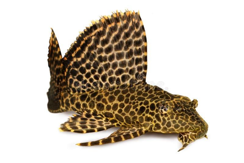 豹子Sailfin Pleco水族馆鱼Pterygoplichthys gibbiceps 免版税库存图片