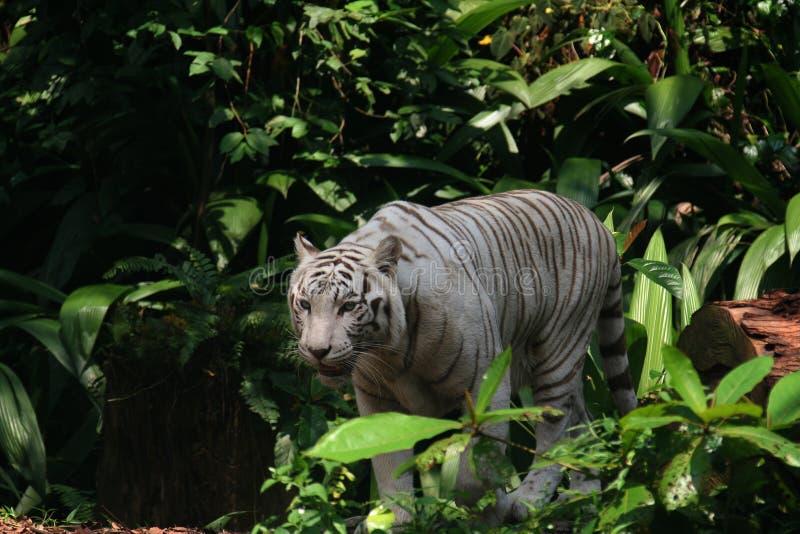 豹属底格里斯河bengalensis 免版税库存照片