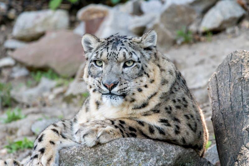 (豹属uncia)基于石头的白色雪豹或Irbis 免版税库存图片