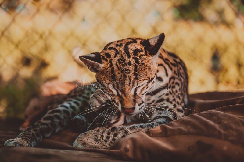 豹猫享受一个美好的晴天 免版税库存图片