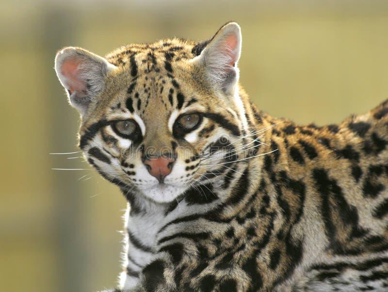 豹猫纵向 图库摄影