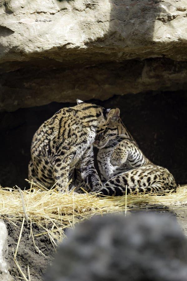 豹猫, Leopardus pardalis 图库摄影