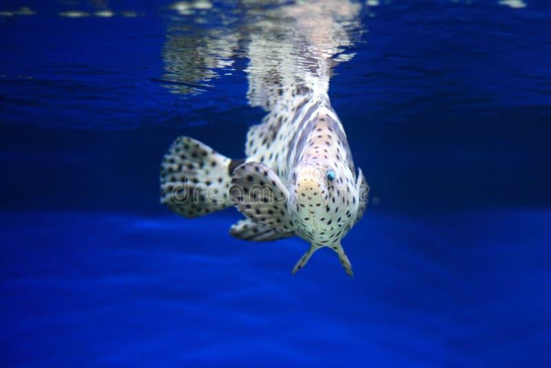 豹石斑鱼 免版税库存照片