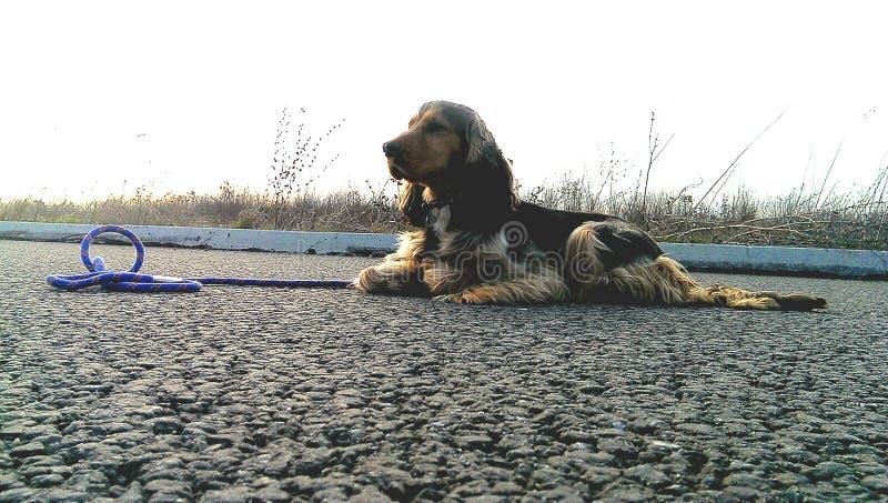 黑貂猎犬 图库摄影