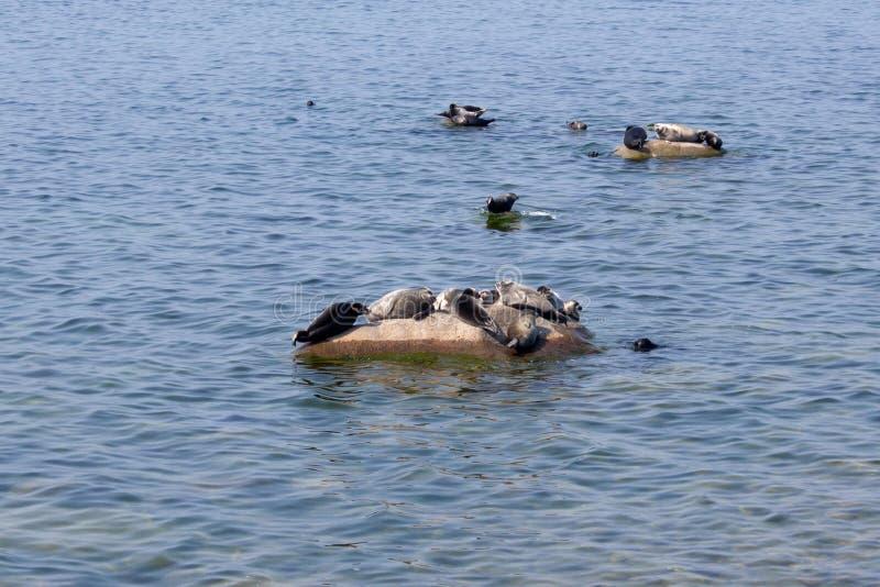 贝加尔湖封印在贝加尔湖东部岸的Pusa sibirica  库存图片
