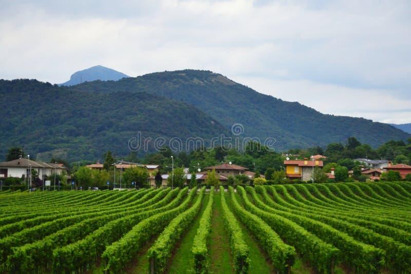贝加莫风景伦巴第意大利省的葡萄园  免版税库存照片