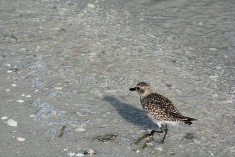 贝壳、鸟和海洋佛罗里达的靠岸 免版税库存照片