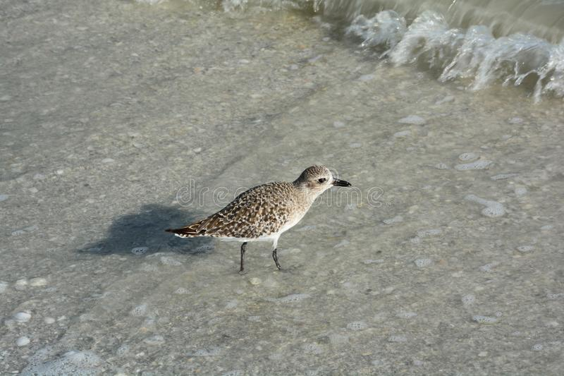 贝壳、鸟和海洋佛罗里达的靠岸 免版税库存图片