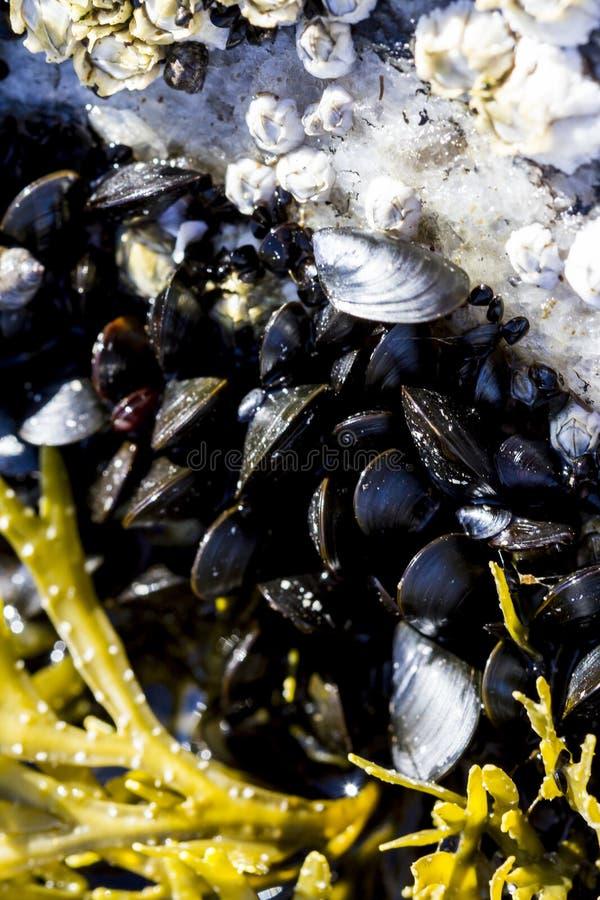 贝壳和海草在浅水区从上面 在白海的沿海地带的海软体动物处于低潮中 E 库存图片