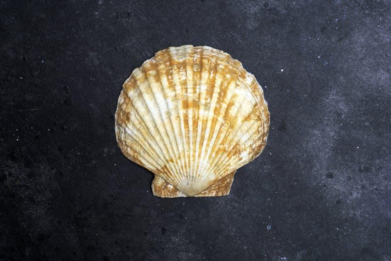 贝壳在黑暗的背景的海洋壳 贝壳海洋壳纹理  免版税库存图片