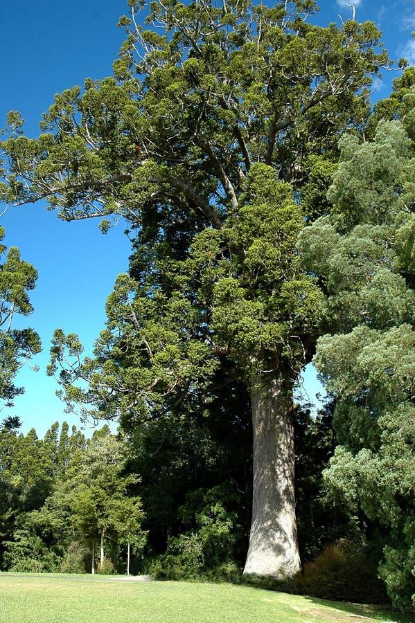贝壳杉结构树 库存图片