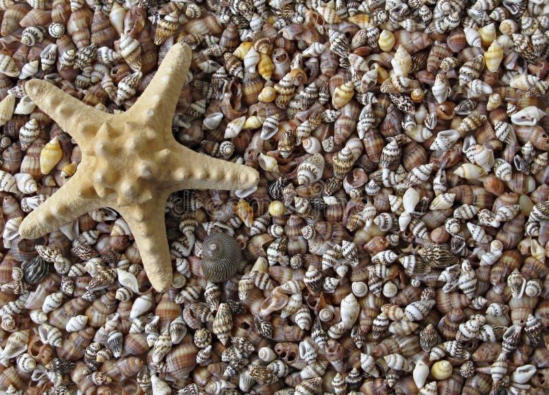贝壳海星 图库摄影