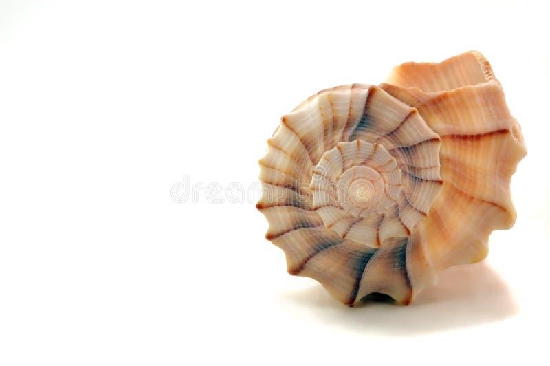 贝壳白色 免版税库存图片