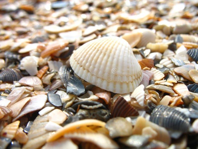 贝壳的一张宏观照片 免版税库存照片