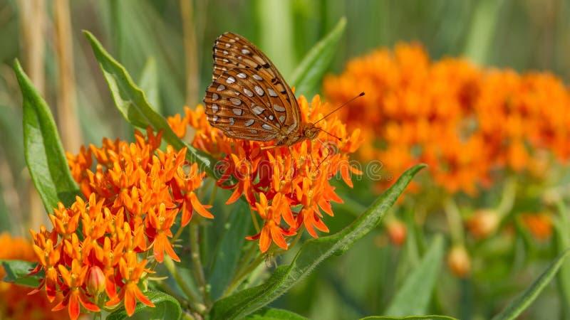 贝母在蝴蝶乳草花的蝴蝶种类在Crex草甸野生生物地区威斯康辛北部的草原 库存照片