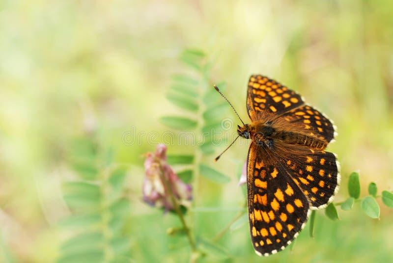 贝母蝴蝶 库存图片