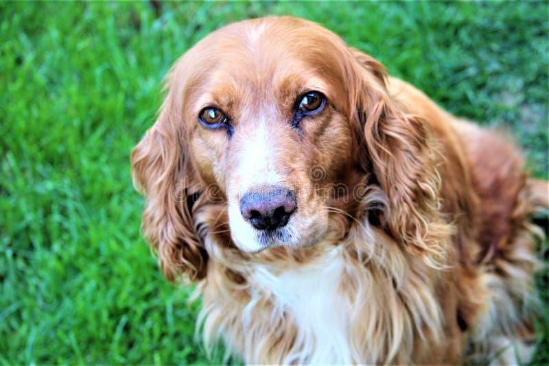 贝洛一条非常好狗 免版税库存图片