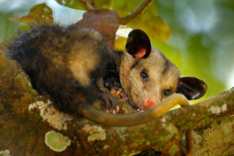 负鼠, Didelphis marsupialis,狂放的自然,墨西哥 从自然的野生生物动物场面 在树的罕见的动物 共同的负鼠, g 免版税库存图片