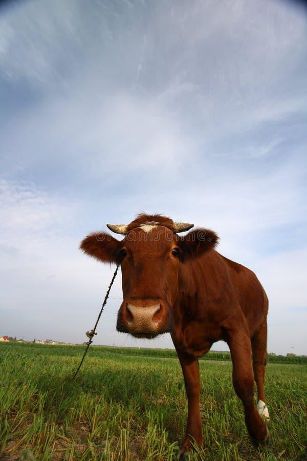 质朴的母牛 免版税库存照片