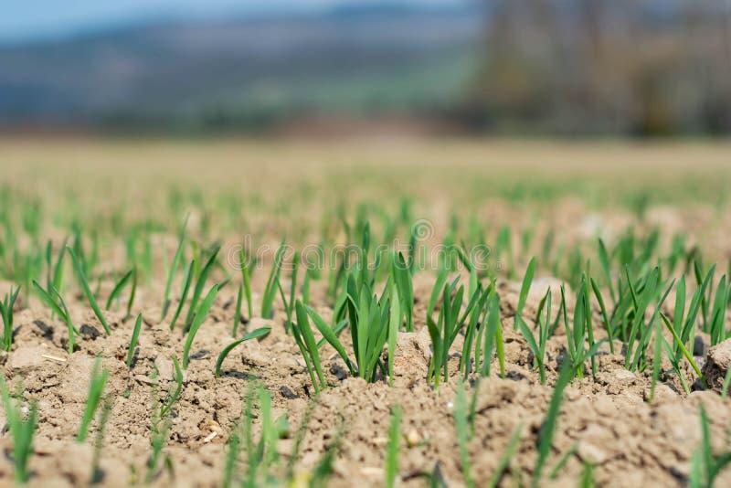 贫瘠土壤的年轻酿酒者大麦植物 免版税库存图片