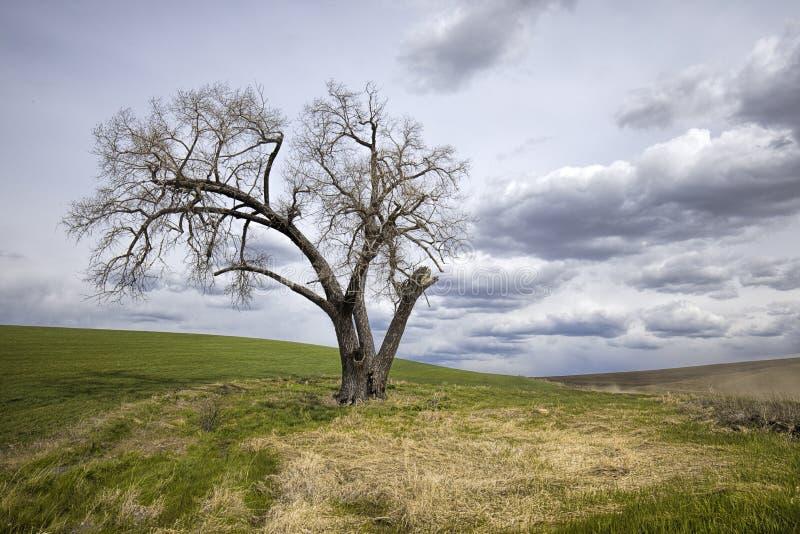 贫瘠树剧烈的照片在领域的 库存图片