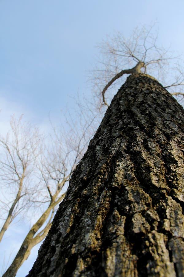 贫瘠橡树冬天中 免版税库存图片