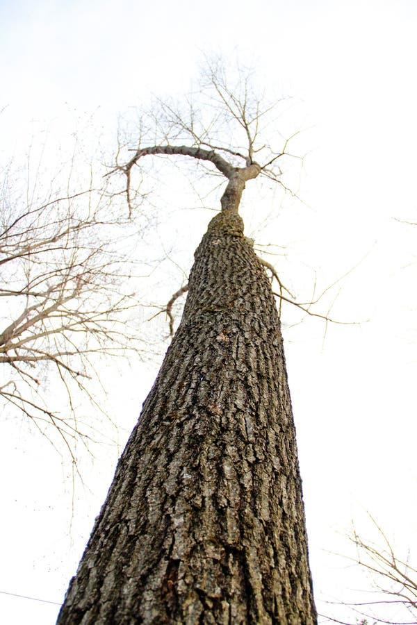 贫瘠橡树冬天中 库存照片