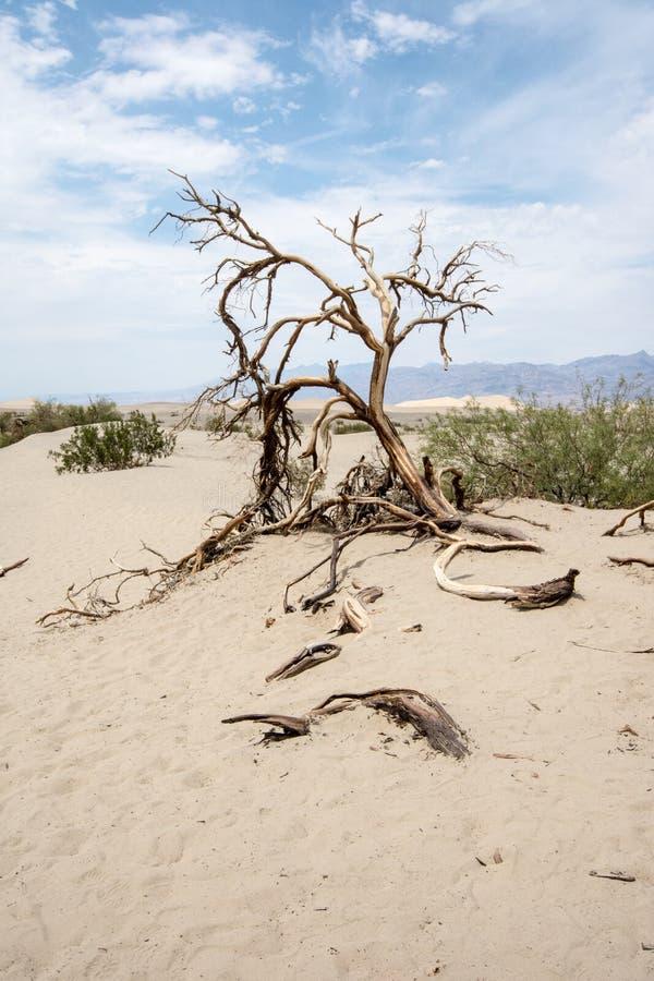贫瘠死亡谷国家公园沙漠含沙风景在有鼠尾草、一棵孤立曲折的树和沙丘的加利福尼亚 免版税库存照片