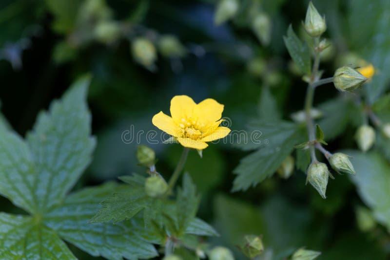 贫瘠草莓Waldsteinia geoides的花 库存照片