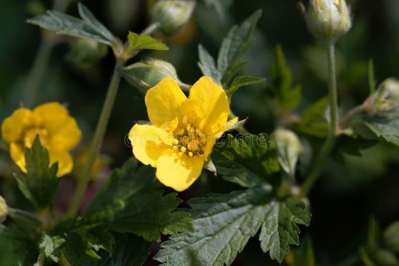 贫瘠草莓Waldsteinia geoides的花 图库摄影