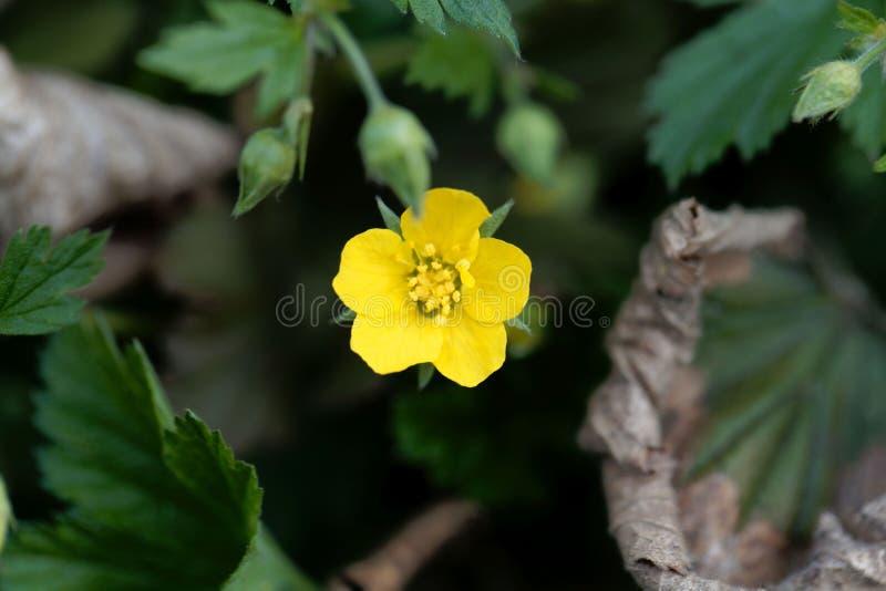 贫瘠草莓Waldsteinia geoides的花 库存图片