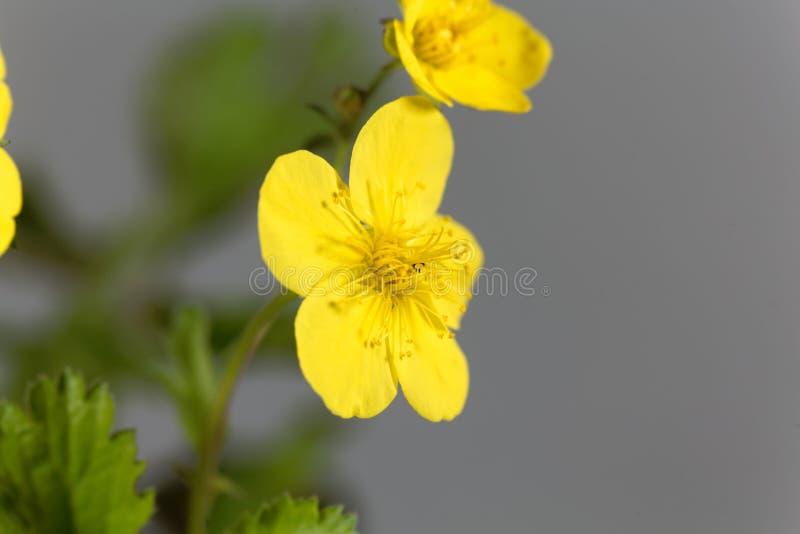 贫瘠草莓Waldsteinia ternata的花 免版税库存照片