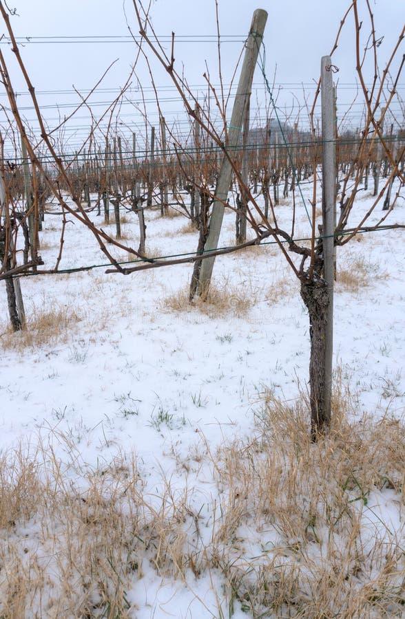 贫瘠葡萄树在黑比诺葡萄酒葡萄园里在与黄色秸杆和雪的冬天在地面上 免版税库存图片