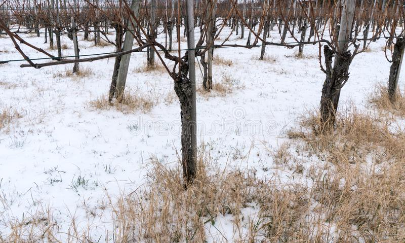 贫瘠葡萄树在黑比诺葡萄酒葡萄园里在与黄色秸杆和雪的冬天在地面上 库存照片