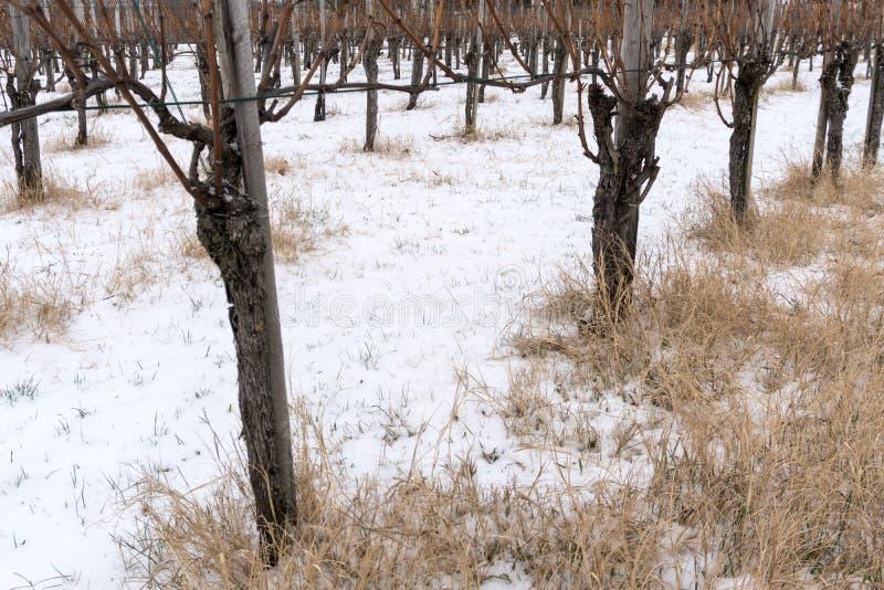 贫瘠葡萄树在黑比诺葡萄酒葡萄园里在与黄色秸杆和雪的冬天在地面上 库存图片