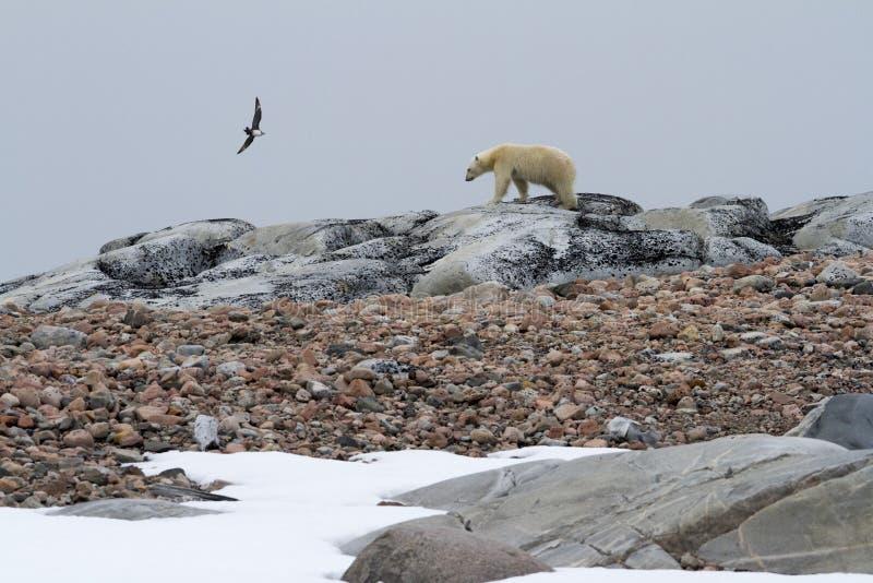 贼鸥和北极熊 免版税库存照片