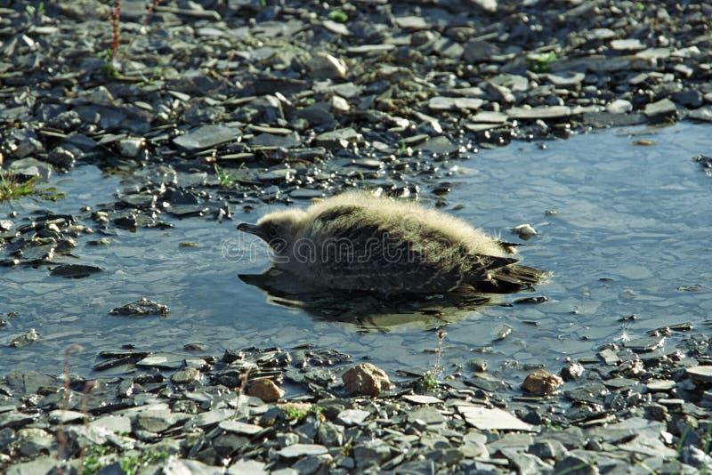 贼鸥长的刚孵出的雏盯梢了 免版税库存照片