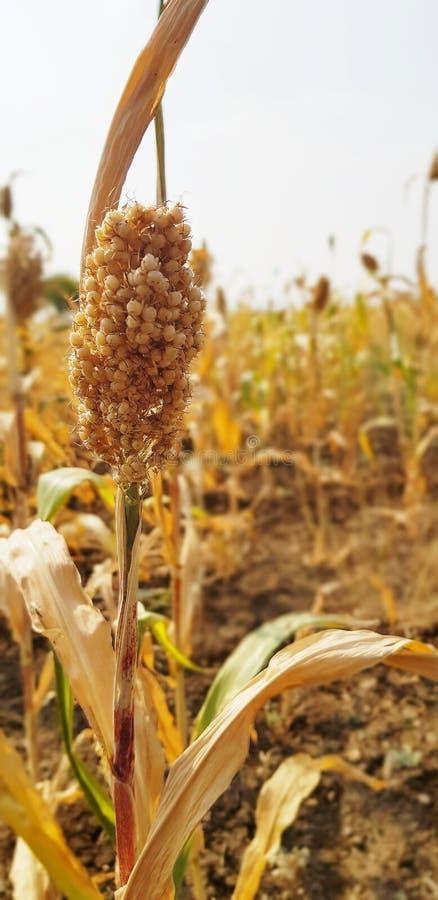 贾瓦尔粮食作物照片 免版税库存图片
