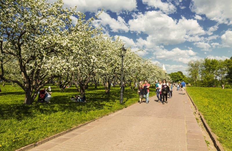 资本步行的白云母和客人在苹果树疆土的在Kolomenskoye在一个晴朗的春日,莫斯科, 库存照片
