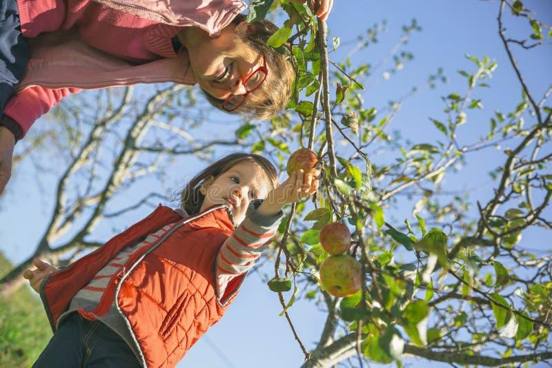 资深妇女和小女孩从树的采摘苹果 免版税库存图片