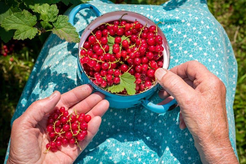 资深妇女在她的庭院和本地出产的红醋栗里 库存照片